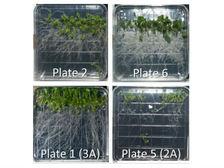 Учёные исследовали рост растений в отсутствие гравитации